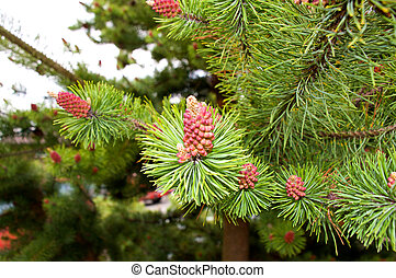 Vibrant Pine Cones - Uniquely colord pine cones on a tree in...