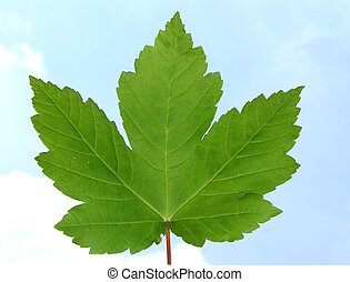 Maple leaf in front of light blue sky with white clouds