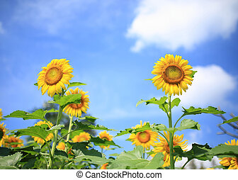 beautiful sunflowers in garden with blue sky