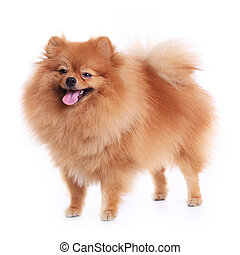 pomeranian dog isolated on white background, cute pet in...