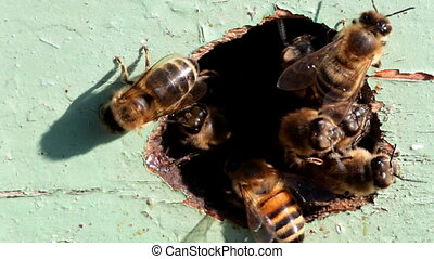 bees at the entrance to the hive