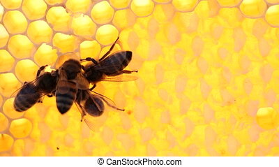 bees on honeycomb - worker bees on honeycomb with honey,...