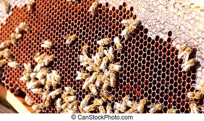 bees build honeycombs - worker bees on honeycomb with honey,...
