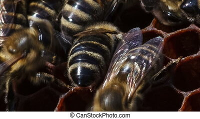 bees on honeycomb with honey - worker bees on honeycomb with...