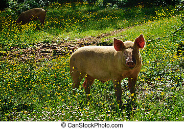 Pig on a meadow - Pig on a green meadow Mountain forest,...