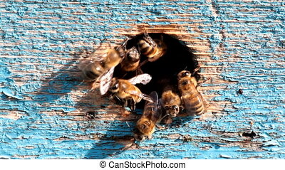 honeybees - worker bees at the entrance to the hive,...