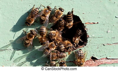hive entrance - worker bees at the entrance to the hive,...