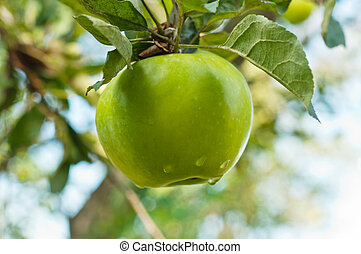 apple on a branch - green apple hanging on a branch in a...