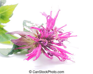 Bergamot flower on a white background
