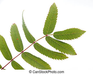 leaves of a mountain ash on a white background