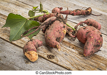 sweet potato freshly harvested - a bunch of fresh sweet...