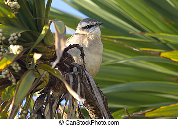 Chalk-browed Mockingbird sitting among the green branches