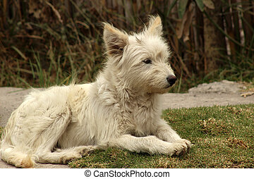 White Shaggy Dog - A white dog lying in a field of grass in...