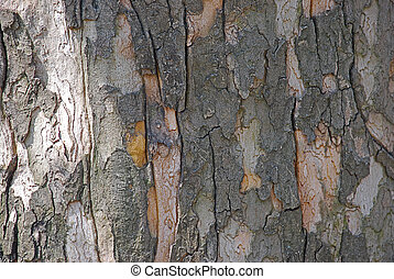 Poplar bark - poplar bark close up