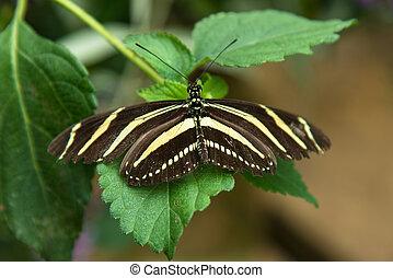 Zebra Longwing - zebra butterfly on a leaf