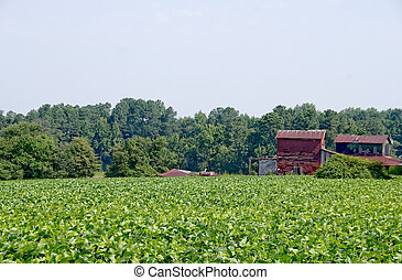 Soybean Field - A large farm field filled with soybean...