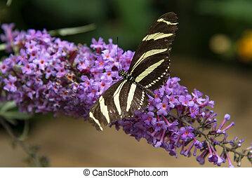 Zebra Longwing - zebra butterfly on a flower