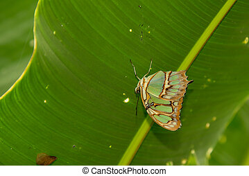 malachite butterfly - siproeta stelenes under a leaf