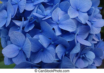 Blue Hydrangea Flower - Mophead dydrangea flower head with...