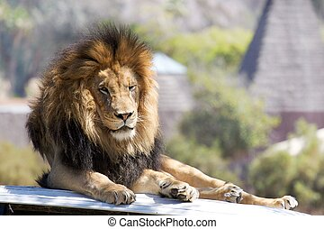 King of the Jungle - Lion resting on the hood of a land...