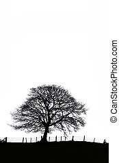 Sycamore Tree Silhouette - Sycamore tree in winter with an...