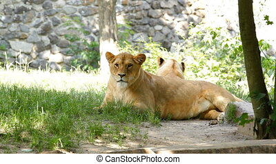 Female lion rests in the grass