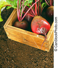 Harvesting. A beet in old box on earth.