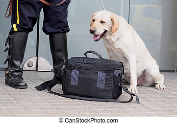 Labrador retriever at work. - Labrador security dog at work...