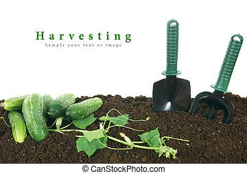 工具, 收穫, 地球, 花園, 黃瓜
