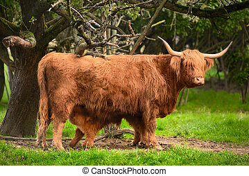 Highland cattle in idyllic farmland