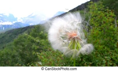 Dandelion in the wind - Dandelion Seeds blown in the wind...