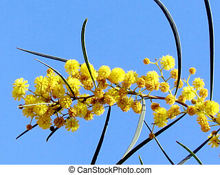 Neve Monosson branch of a mimosa 2012 - Branch of a mimosa...