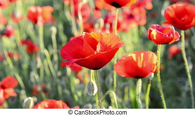 Red poppy on the field