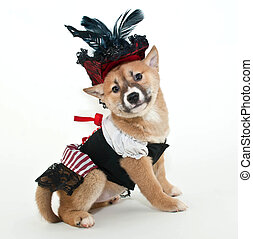 Pirate Puppy. - Little Shiba Inu puppy dressed up in a...