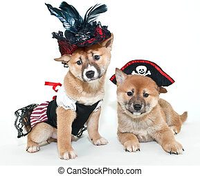 Arrrrrtent We cute - Two super cute Shiba Inu puppies...