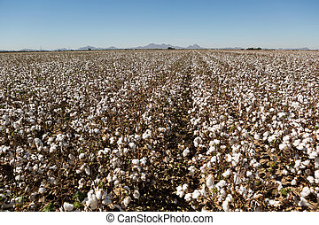 cotton field on the plains ready to harvest