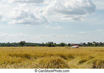 Farm worker harvesting rice with tractor