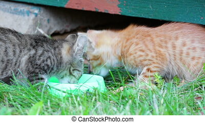Street kittens eat a forage from the bowl standing on a...