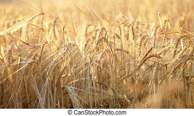 Wheat field - Field of wheat ready to be harvested