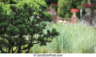 pine in the garden - Garden Landscape Loop ready File