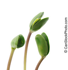Small sprouts soy - Small sprouts of soya isolated on white...