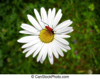 ox-eye - Red bug on a camomile flower