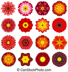 Collection Various Red Concentric Flowers Isolated on White...