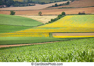 corn and sunflower field