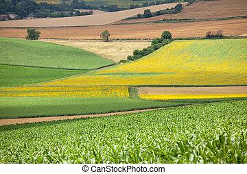 campo, maíz, girasol