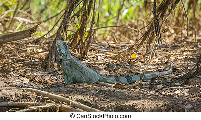 Iguana in riverbank of Brazilian Pantanal - Close view of...