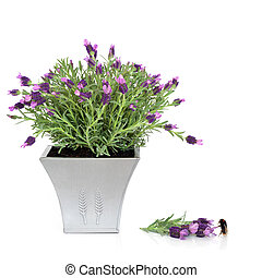 Lavender Herb and Bumble Bee
