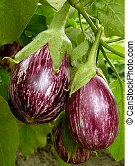 striped eggplants growing in the garden