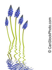 Grape Hyacinth Flower Abstract - Grape hyacinth flowers with...