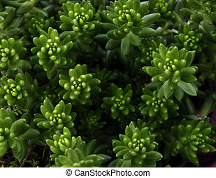 Sedum - Green sedum is an easy to grow succulent which idoes...